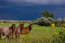 Horses_Sunflowers