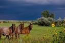 Horses_Sunflowers